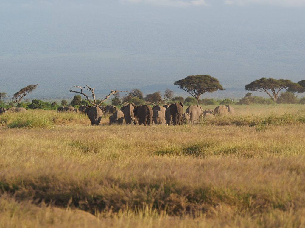 アンボセリといえばゾウの群れ。水もたっぷり飲め、生き生きしています