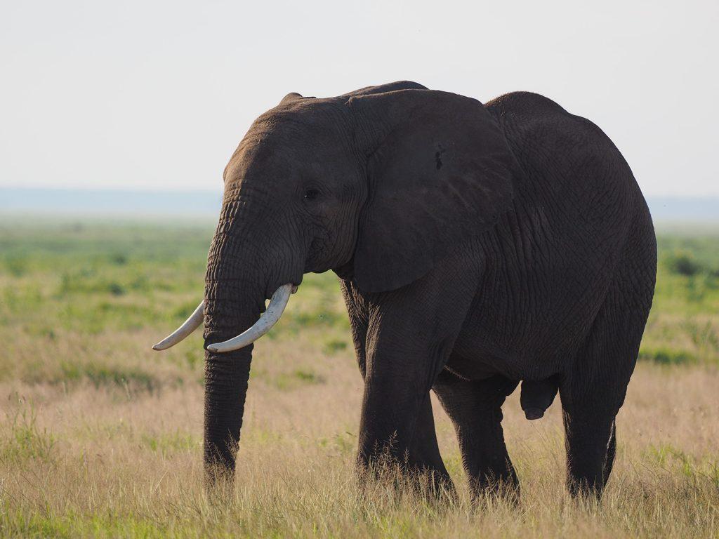 メスゾウが率いる群れにそっと近づくオスゾウ。雨季は発情期でもあります
