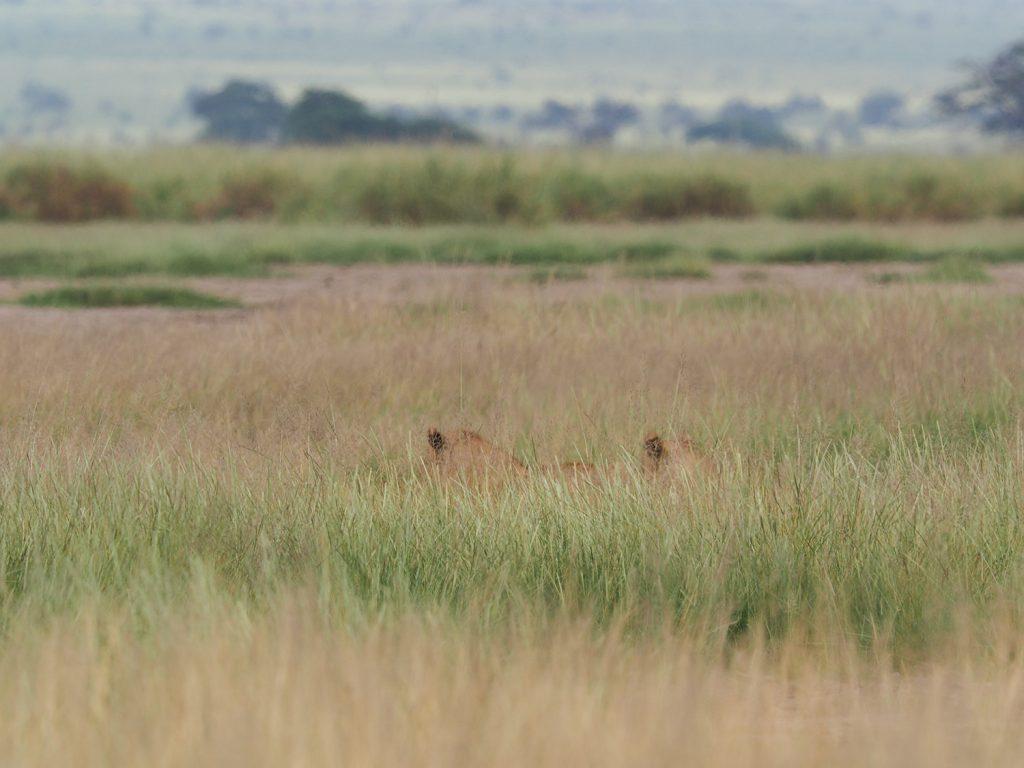 草丈が高く、ライオンも寝そべると探すのが大変