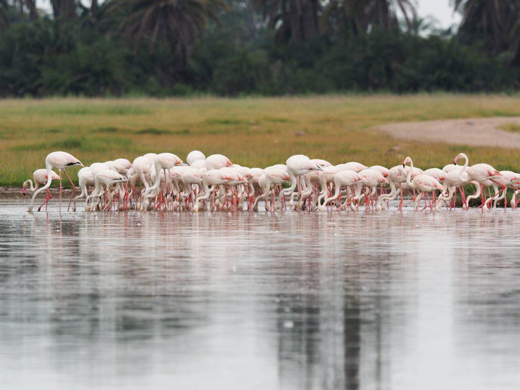 タンザニア方面から飛来したのでしょうか?雨季の雨でできた湖に集まっていたフラミンゴ