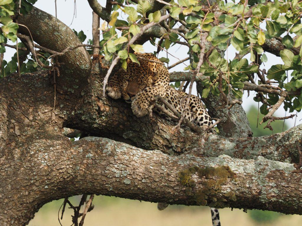 立派な体格のヒョウも木の上でのんびり昼寝中