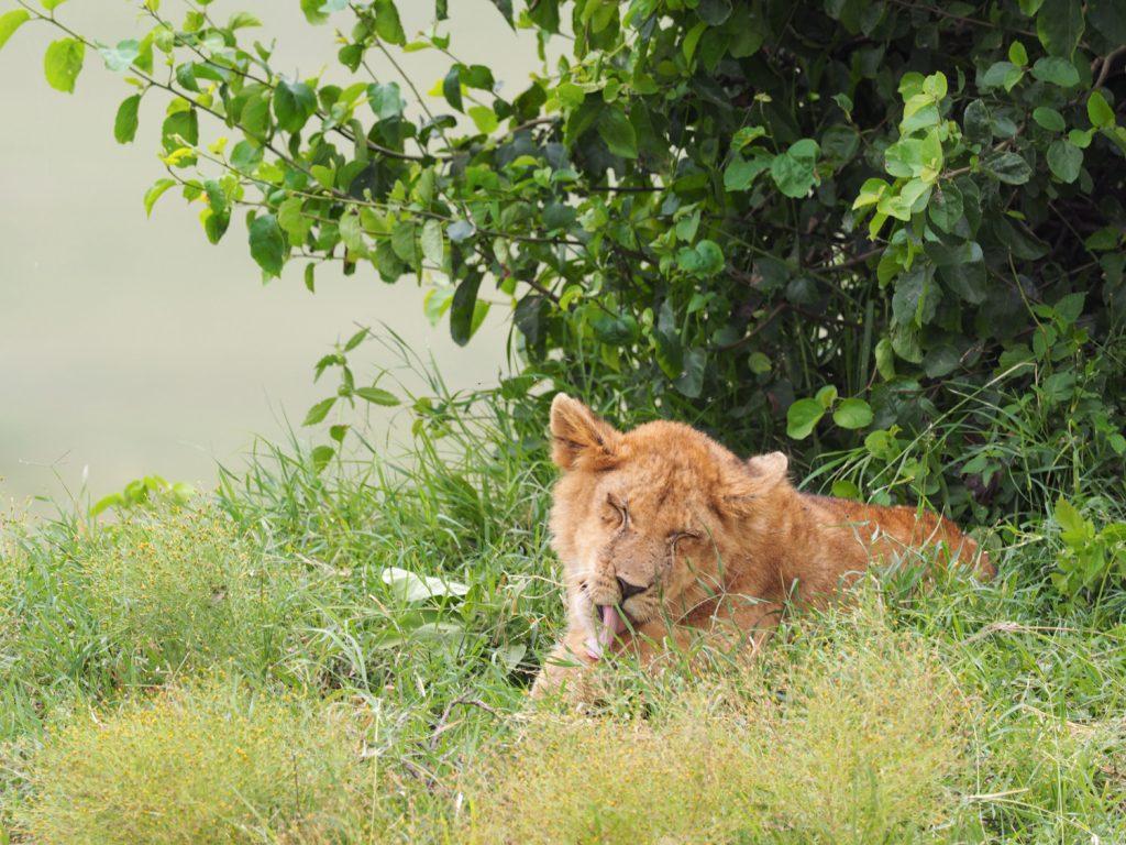 母親不在の子ライオンのグループにも遭遇しましたが、ずいぶんのんびりしていました