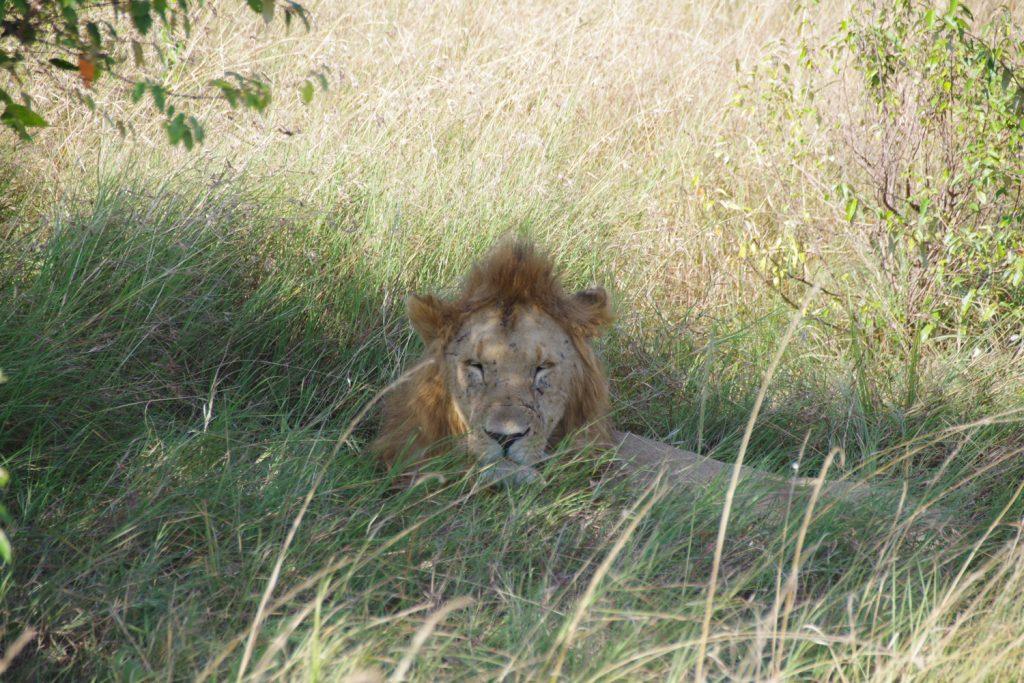 最高のお休みスポットを見つけて、寝落ち寸前の雄ライオン。