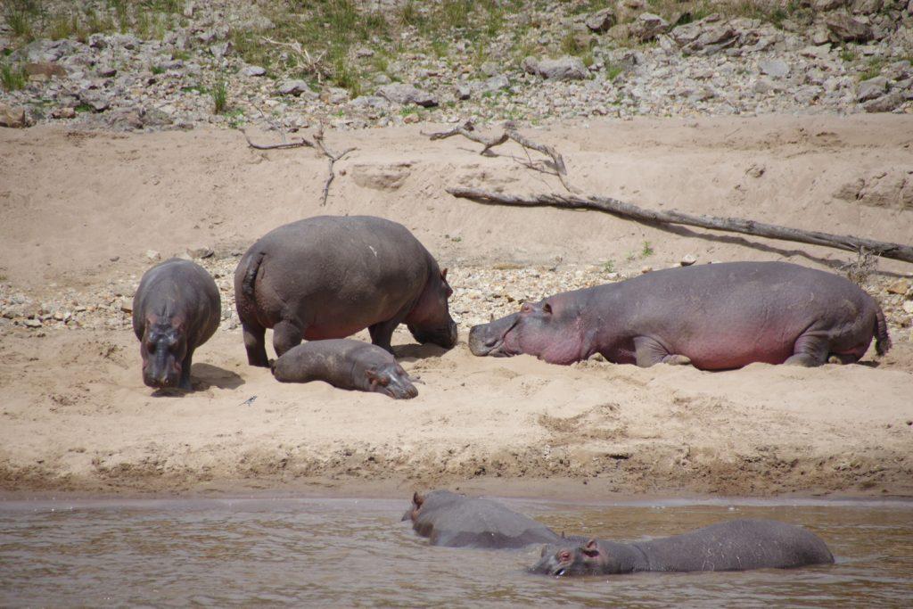 マラ川でお休みするカバの家族。