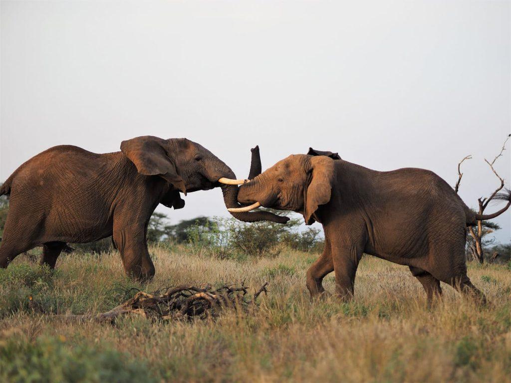 サンブル国立保護区で1泊。若いゾウが喧嘩していました。