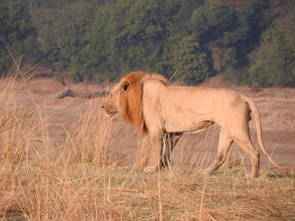 ここにはアルビノのオスライオンを見られました。ホワイトライオンとは違います。