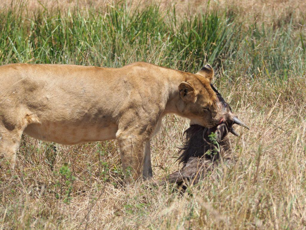 さっきまで居眠りしていたライオンもハンティング。