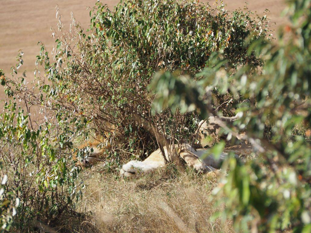 2日連続で出会ったお昼寝中のハネムーンライオンカップル。