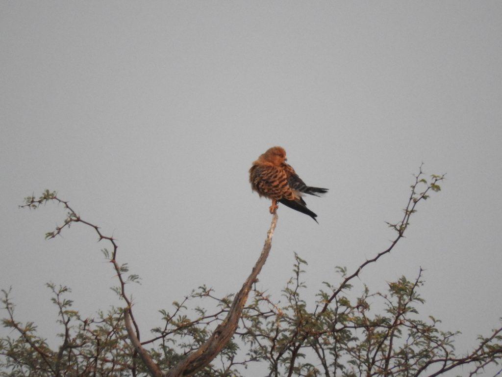 遠くでメジロチョウゲンボウが木の上で休んでました。