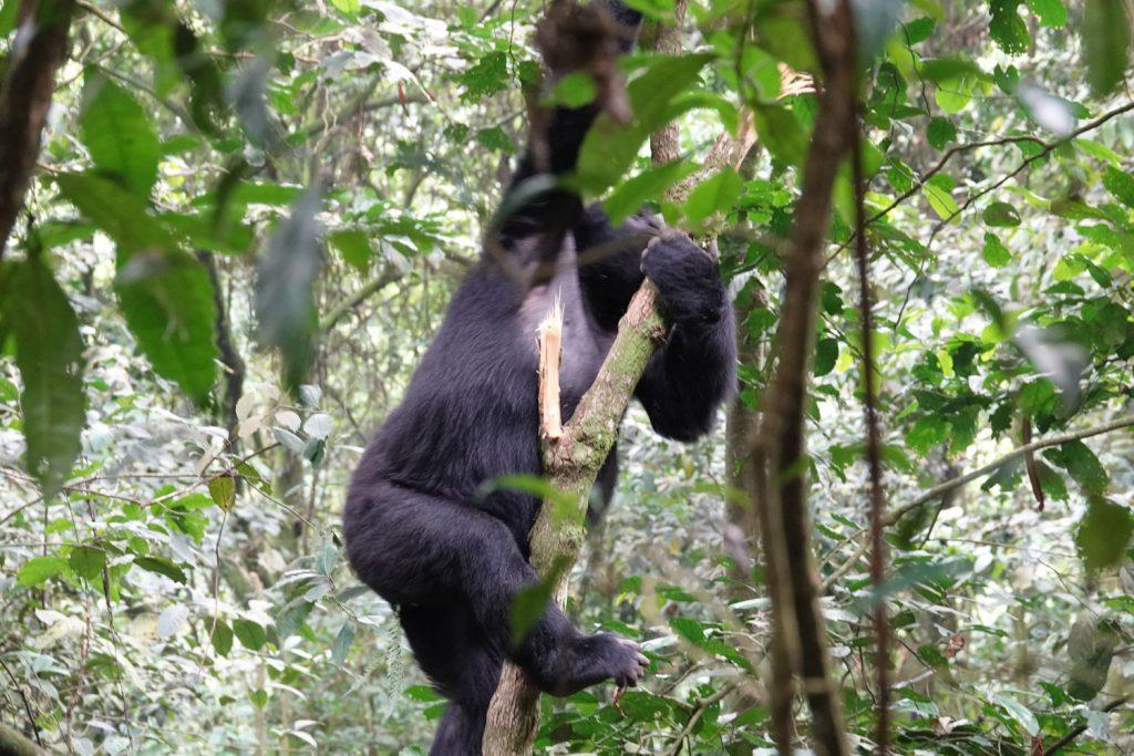 ブウィンディのマウンテンゴリラは木に登ることもよくあります。