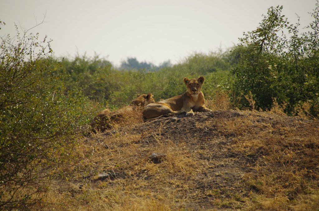 メスライオンも見られました。堂々たるその風格。近くにいたキリンは直立不動で息をひそめてじっとライオンを警戒していました。
