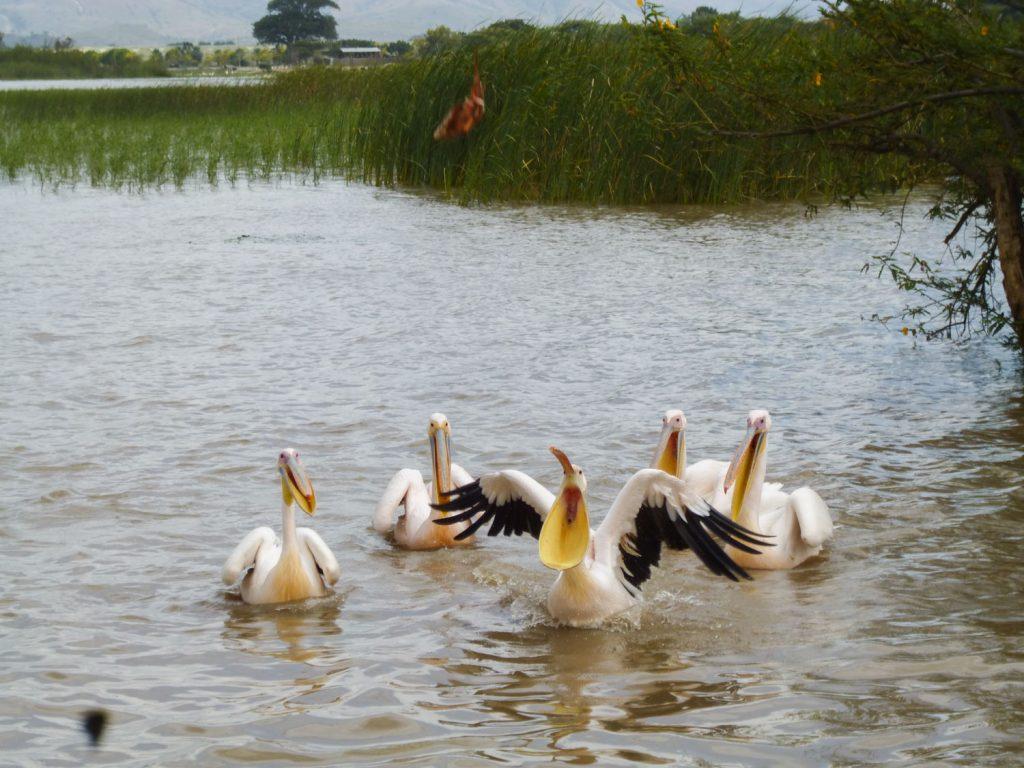 大地溝帯沿いに湖が点在しています。ランチで立ち寄ったズワイ湖。おこぼれを狙って様々な野鳥が集まっています。大きな口を開いて魚をゲットするペリカンたち。
