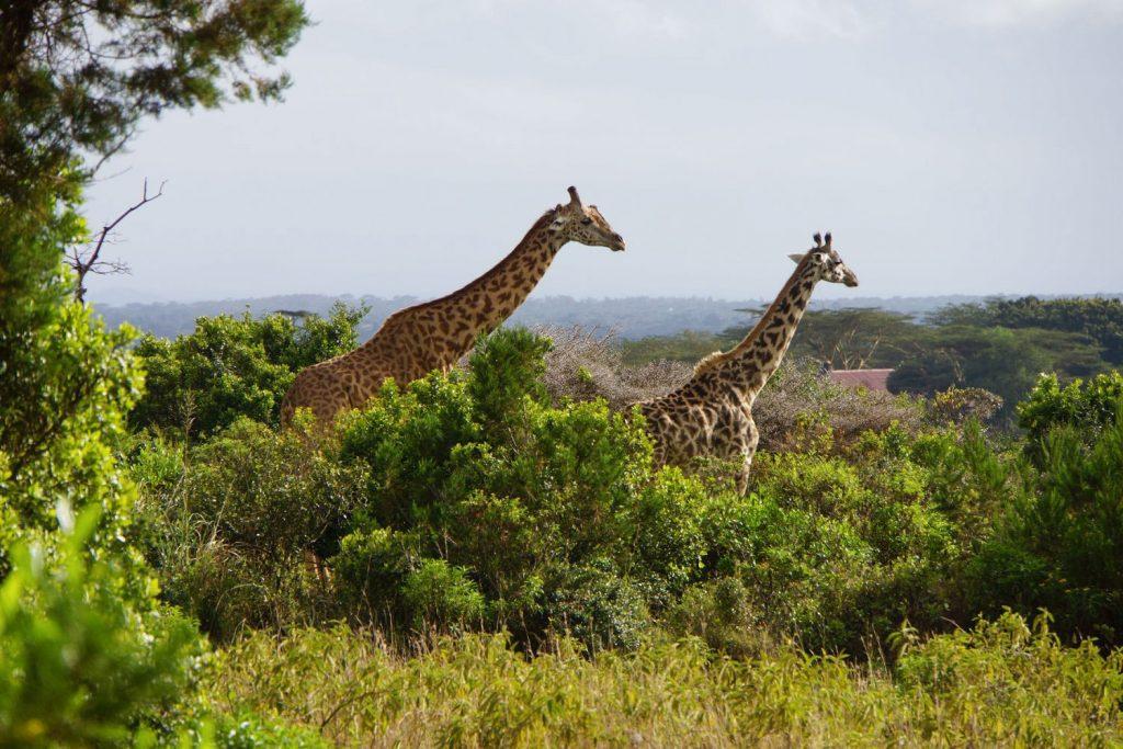タンザニアの国獣キリンが多くみられるアルーシャ国立公園