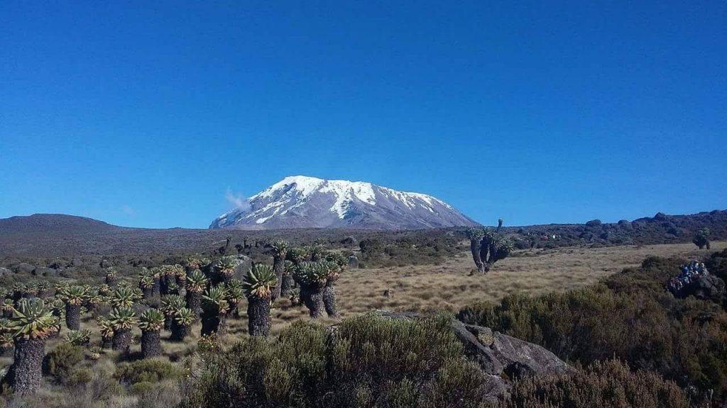 林立するジャイアント・セネシオ越しのキボ峰