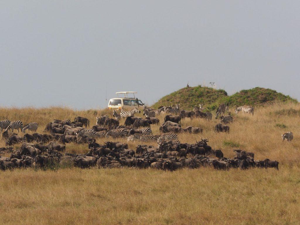 200~500頭くらいに固まったヌーの群れはよく見かけました