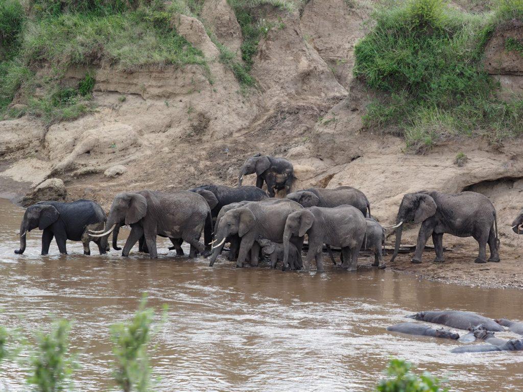 水を飲みながらマラ川に入っていくゾウの群れ