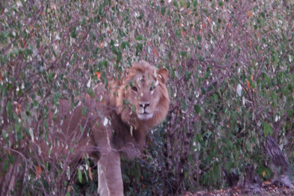 早朝の薄暗い中に登場したオスライオン
