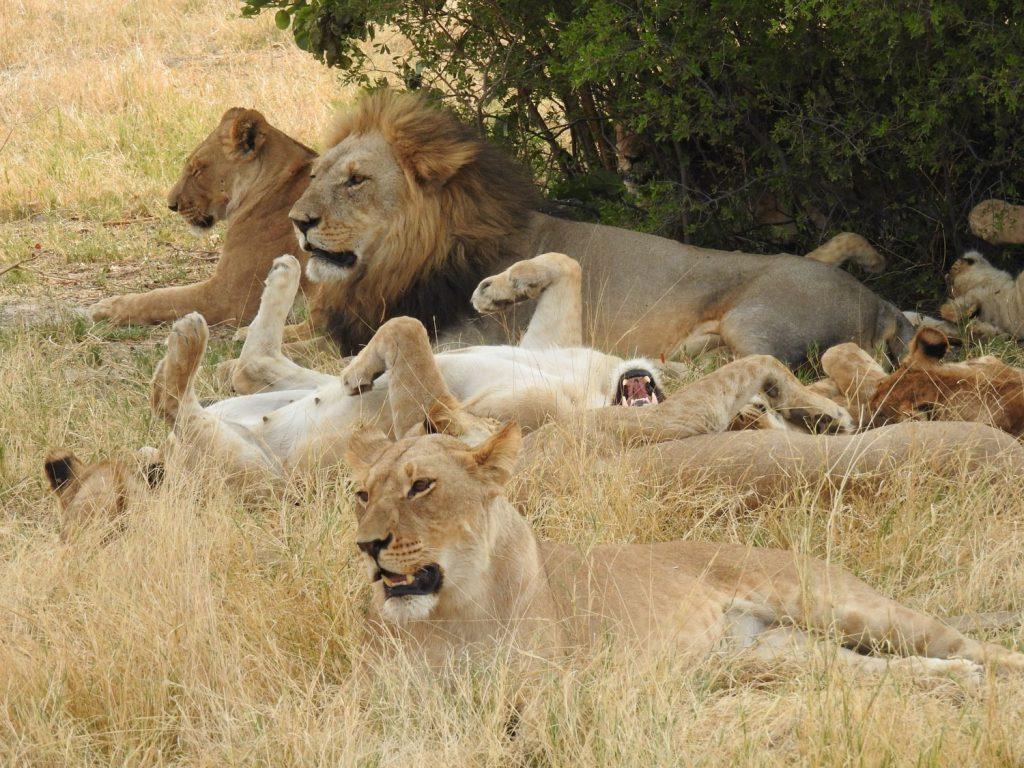 ライオンのプライドも寝ていました。暑い時は動かないのが一番です。