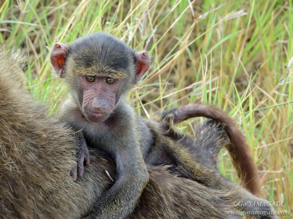 母親の背中に乗るヒヒの子供