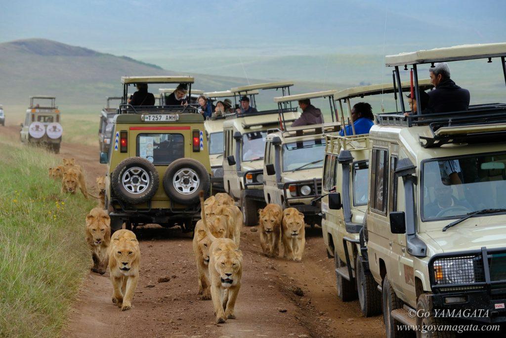 サファリカーには目もくれず道を進むライオンたち