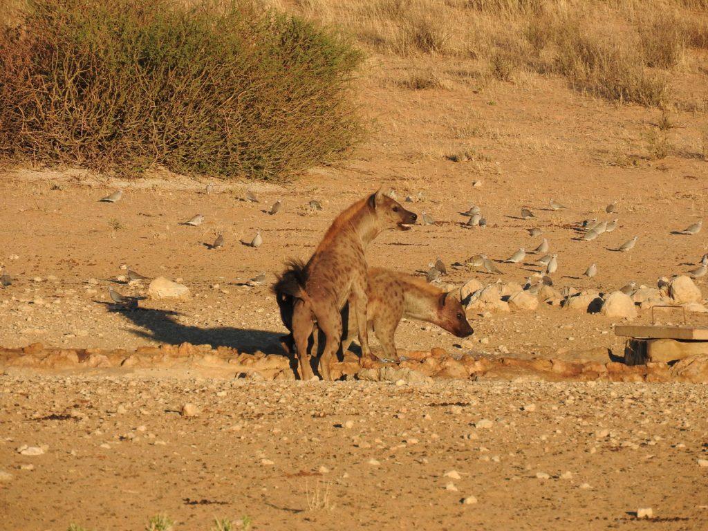 ハイエナ2匹でメスライオンに吠えます。そうするとメスライオン1頭が吠えてハイエナの方に向かうとハイエナ2匹は一緒に後ずさりします。もう1頭のメスライオンは座って成り行きをのんびり眺めています。その駆け引きが皆様に大うけでした。