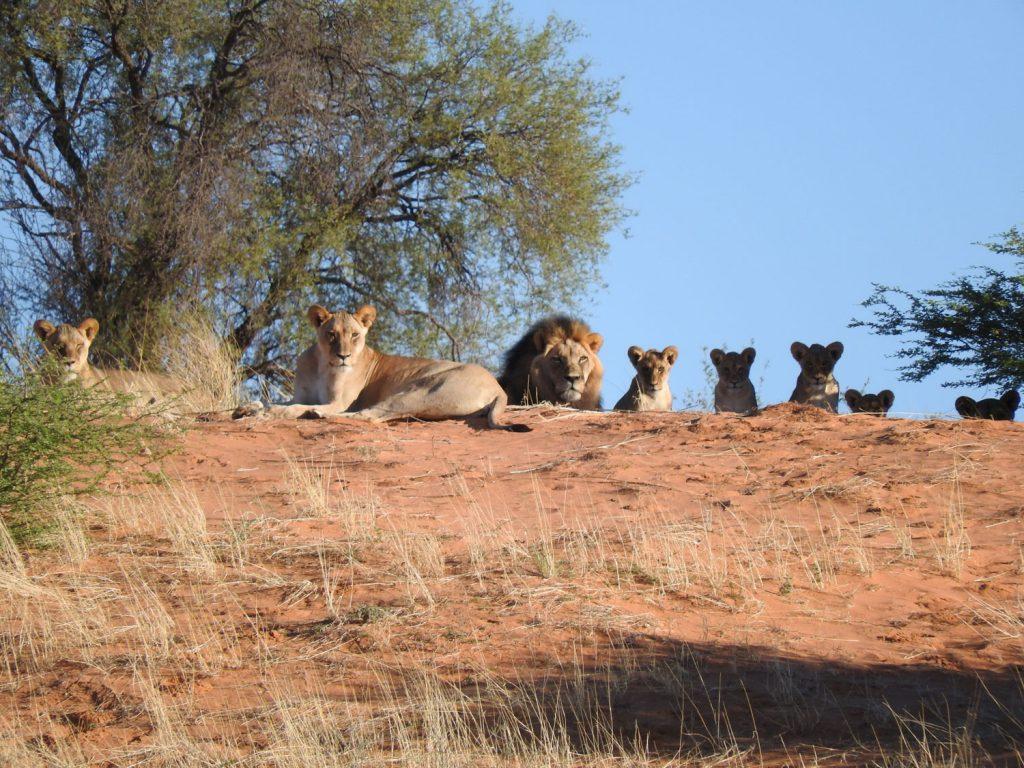 赤い砂丘の上からライオンのプライドがのんびりしています。トイレ休憩の場所から300mほどの距離でした。
