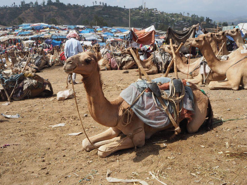 1頭20万もするといわれる貴重なラクダ市。昔から、ラクダは砂漠地帯の移動には欠かせない輸送手段として使用されています。