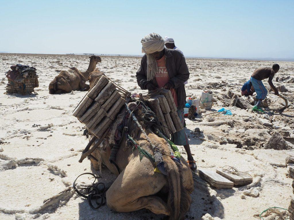 採掘した塩は均等な長方形に形作られ、ラクダを使って数日かけて街へ運ばれて行きます。この塩は主に、エチオピアの人たちの生活に欠かせない家畜用に使用されます。