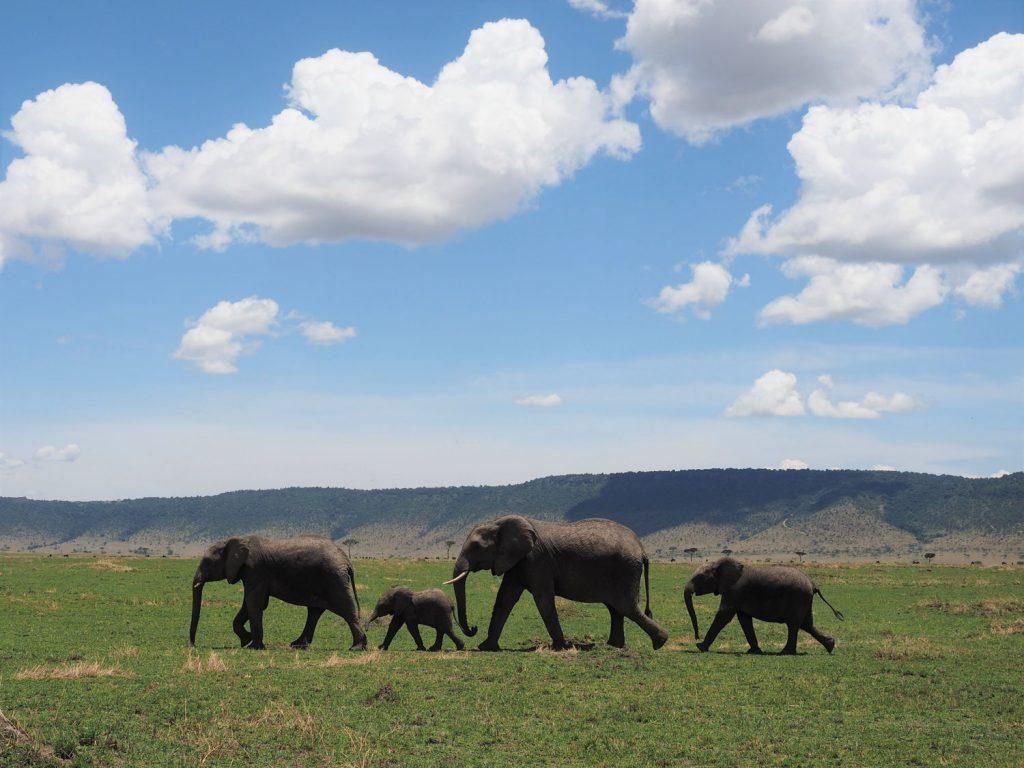 ゾウの家族が散歩