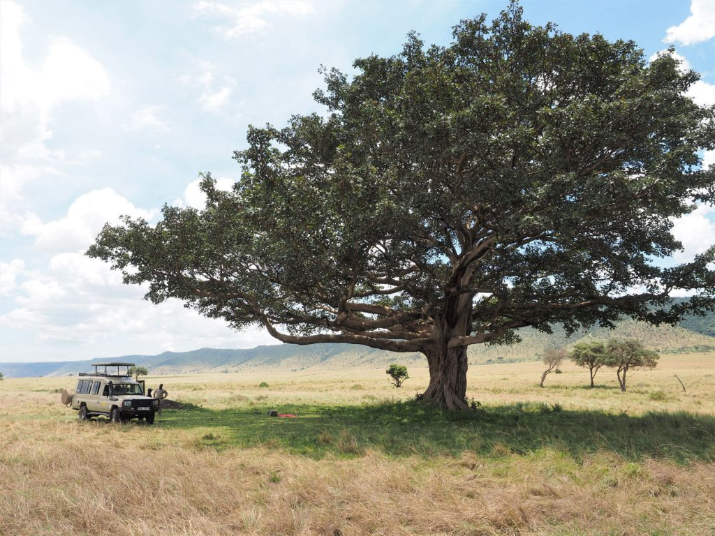 Strangler Figtreeと呼ばれる大きな樹の下で休憩。