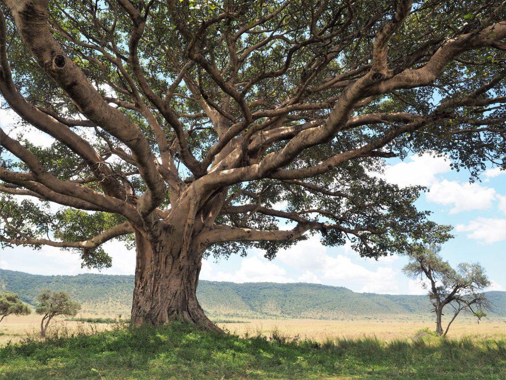 キクユ人の間で『Muguru』と呼ばれ、聖なる樹として自然崇拝の対象になっています。