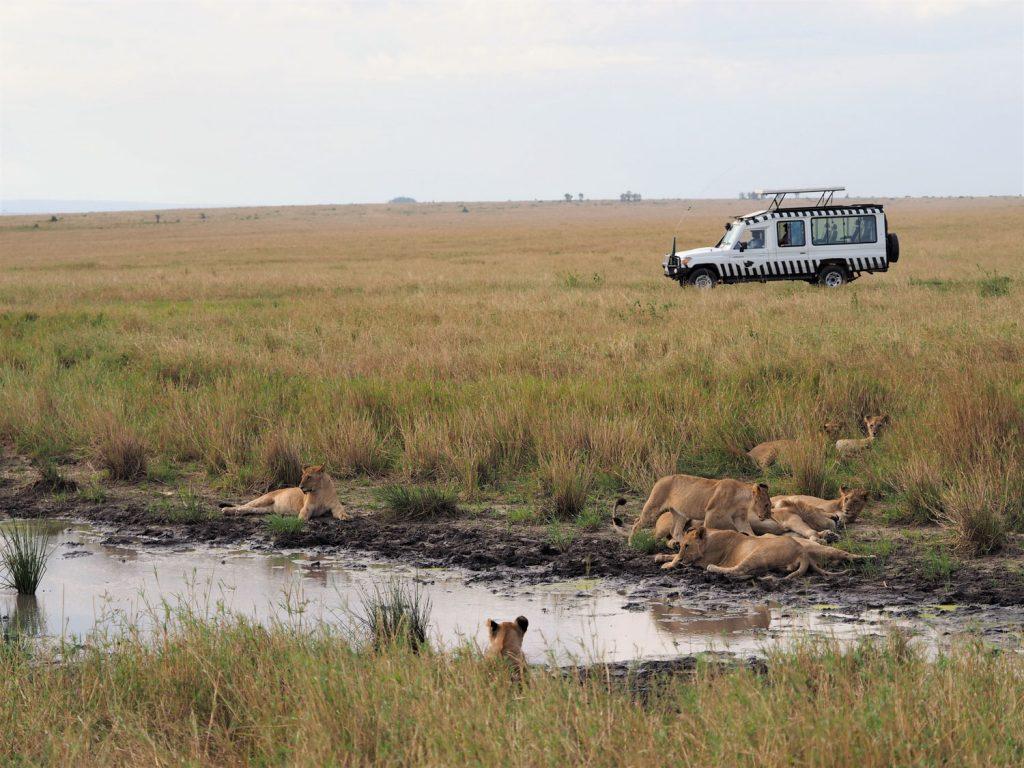 『サンドリバー・エリア』に向かう途中で14頭のライオンのプライド(家族)を発見。
