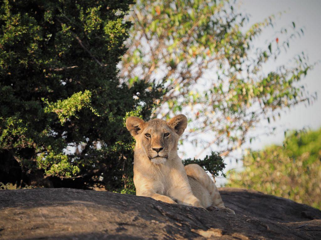 ライオンの子供。