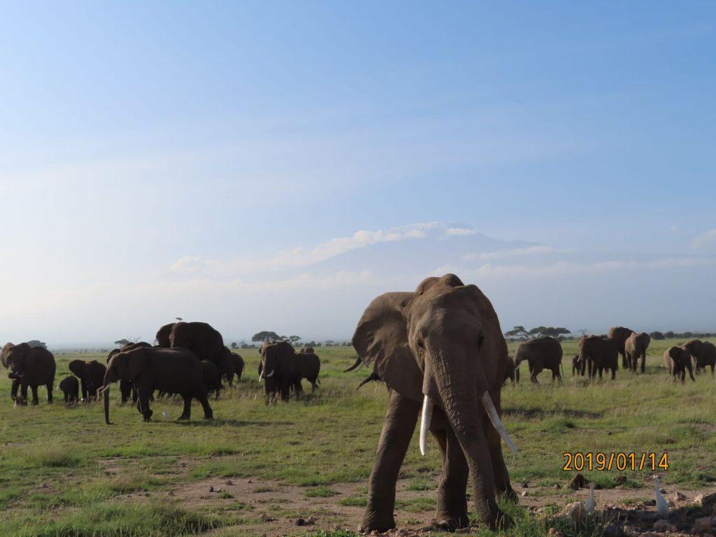 念願のケニア旅行!前日まで全く見えなかったキリマンジャロが姿を現し、澄み切った空気の中、朝食中の象さんたち。アンボセリ国立公園。