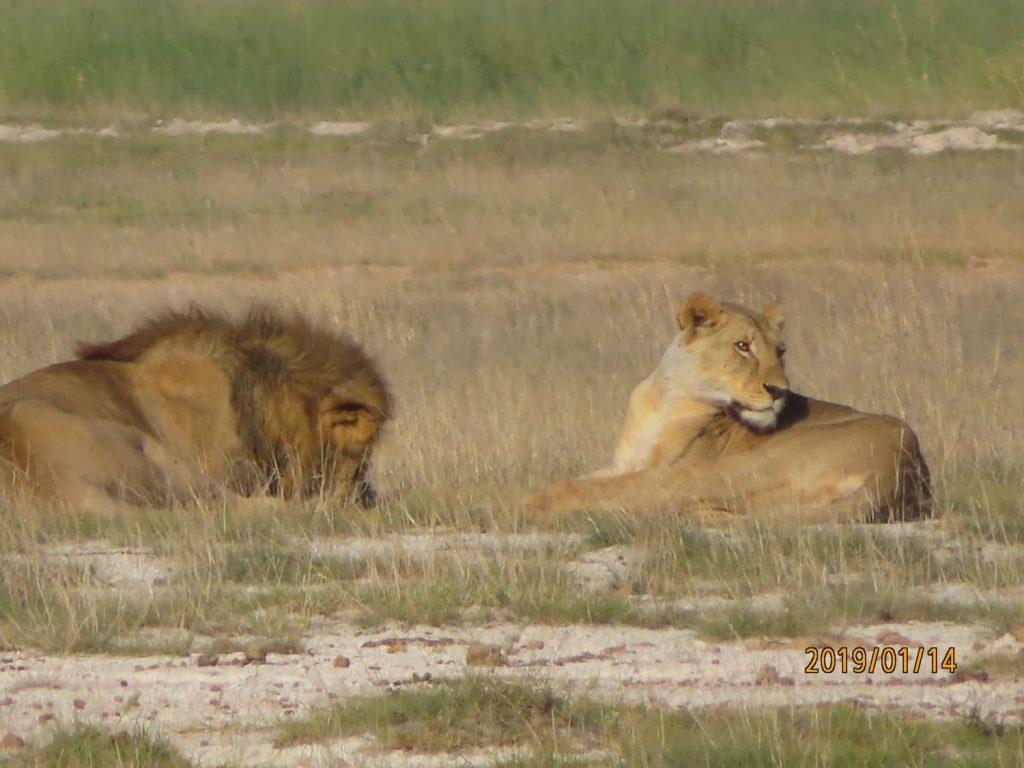 サファリ初日にライオン夫婦!こんにちは(^^♪