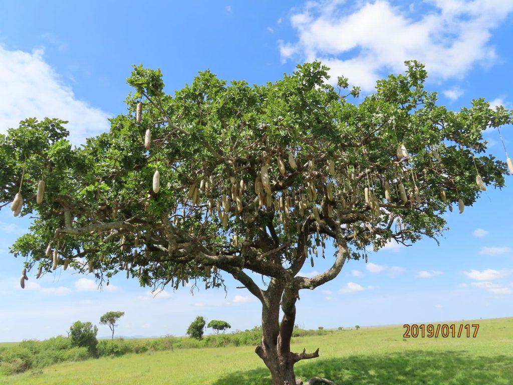 ソーセージツリーですって。面白い(^.^)/~~~ マサイ・マラ国立保護区。