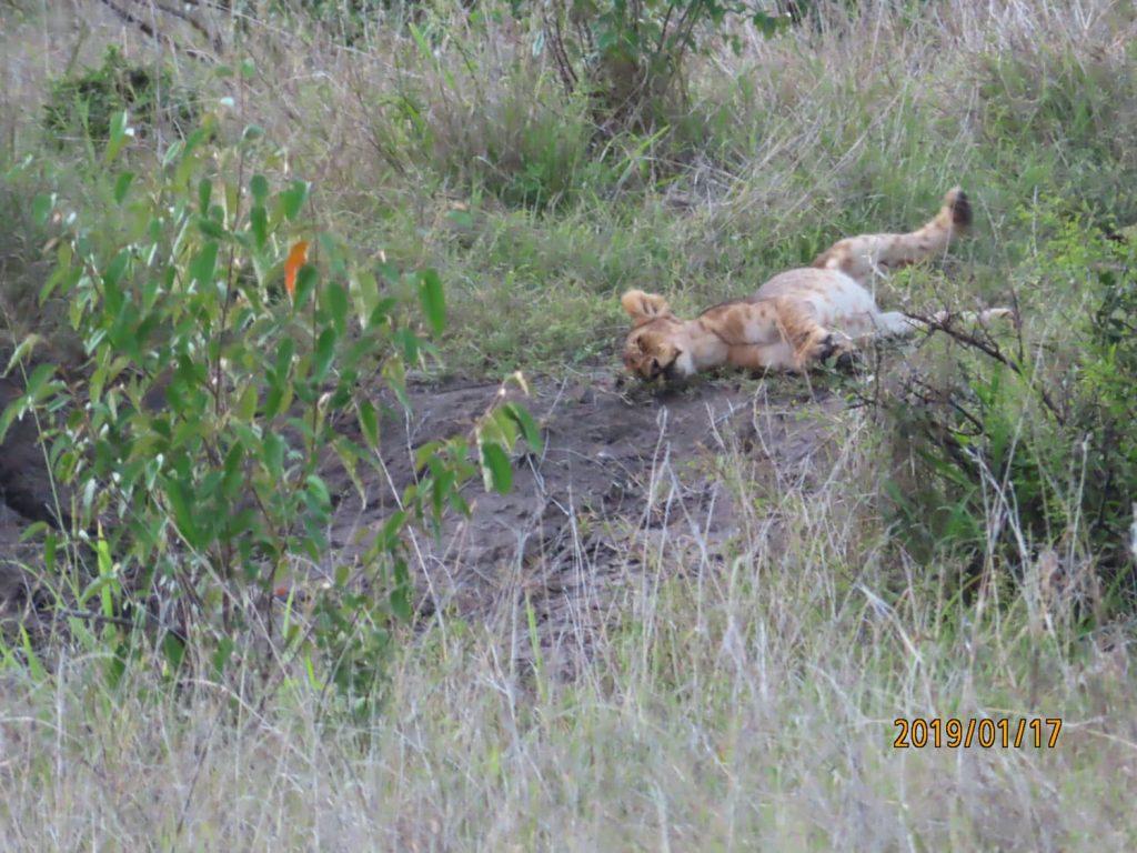 ライオンの子供!!なんてかわいらしい寝姿🎶