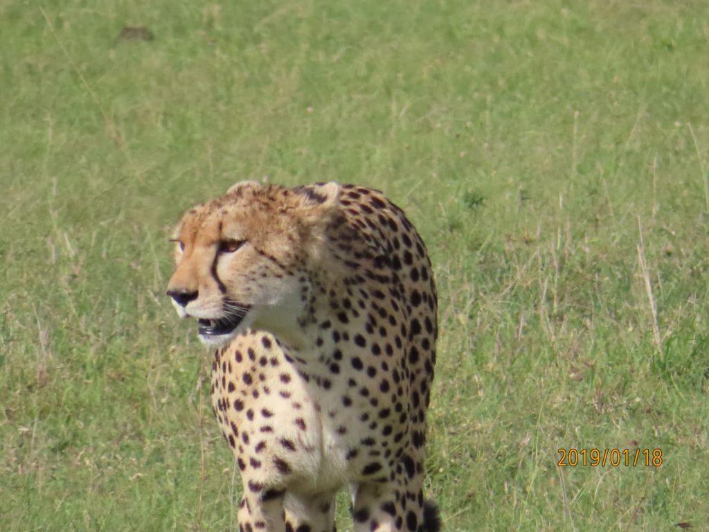 Ms.チーターのお食事タイム🍴 ロッジに戻る途中、運よくハンテイング終わったばかりで息を整えている美しいチーターに遭遇。静かにきれいに獲物を食する姿は忘れられません。マサイ・マラ国立保護区。