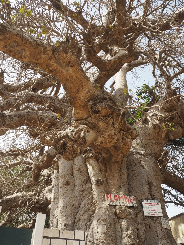 サッカーセネガル代表のユニフォームにもデザインされた生命の樹・バオバブ。
