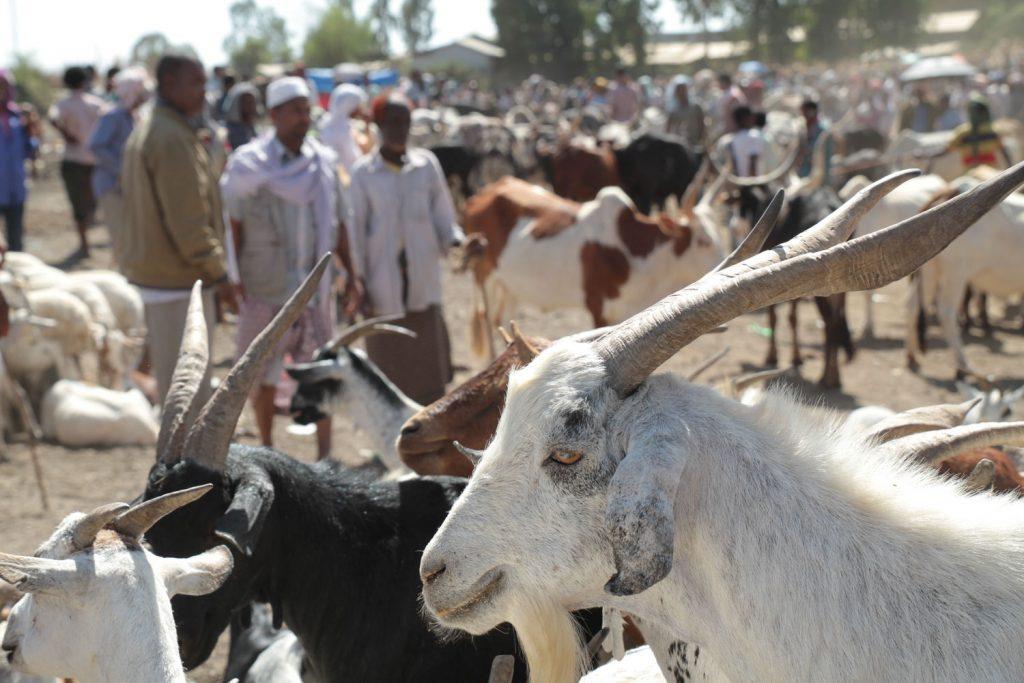 ヤギも牧畜民には欠かせない家畜