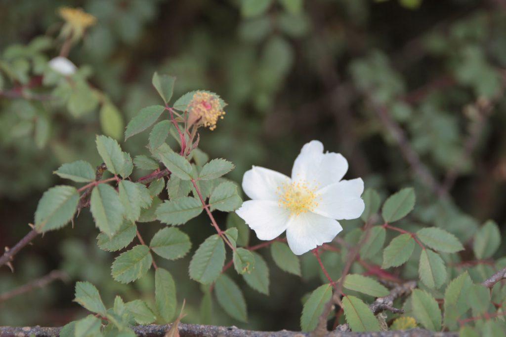 白い花を咲かせていたワイルドローズ