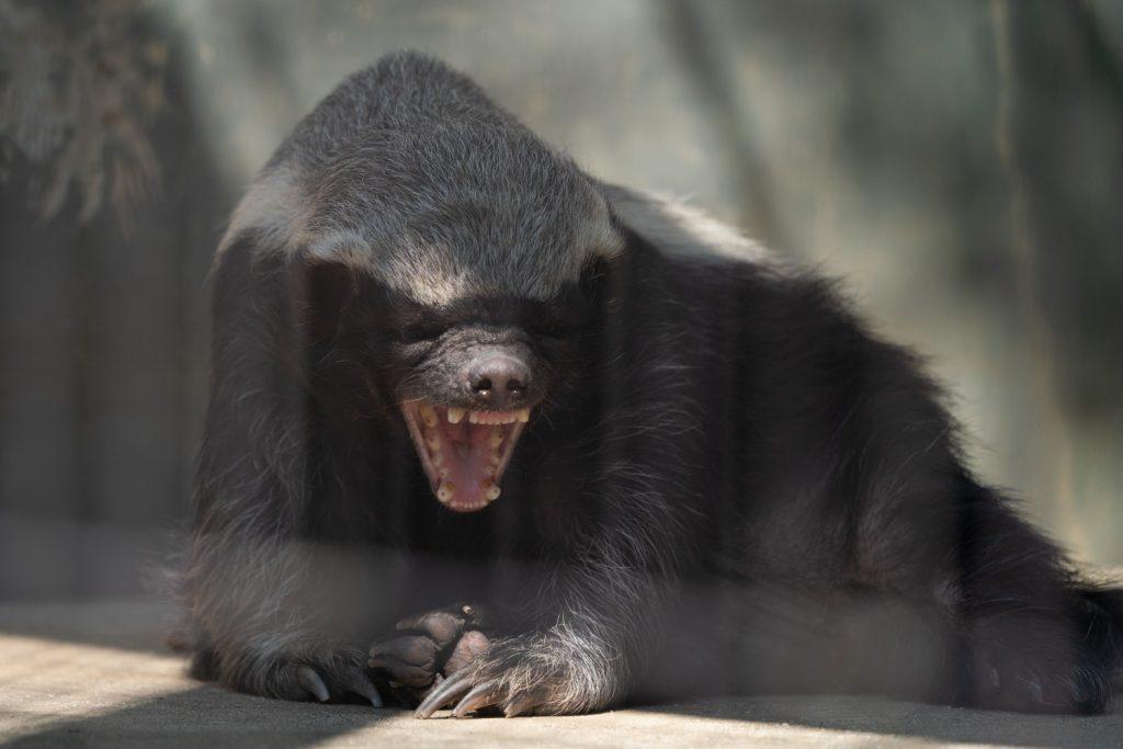 東山動植物園のラーテル3