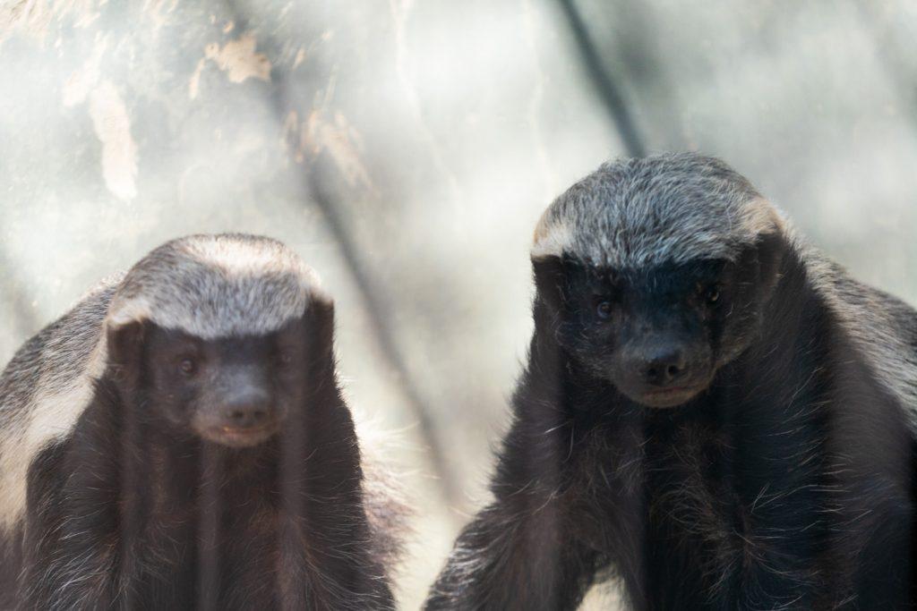 東山動植物園のラーテル4