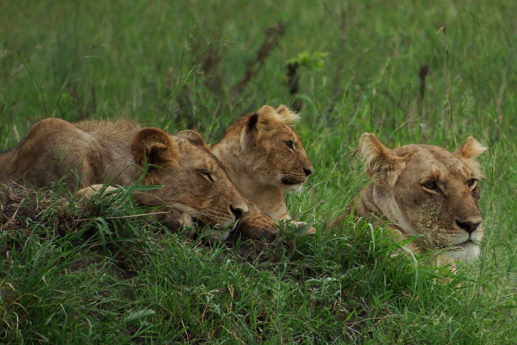 ライオン親子