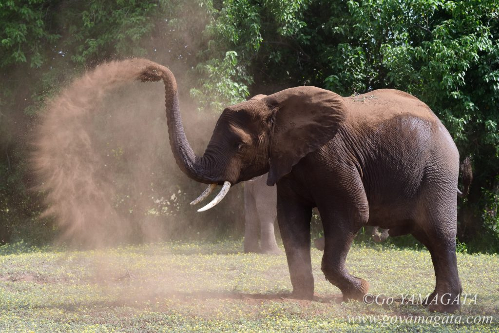 砂浴びをしながら遊ぶ若いゾウ