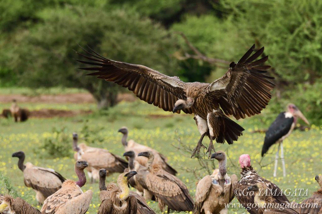 動物の死骸に群がるハゲワシ