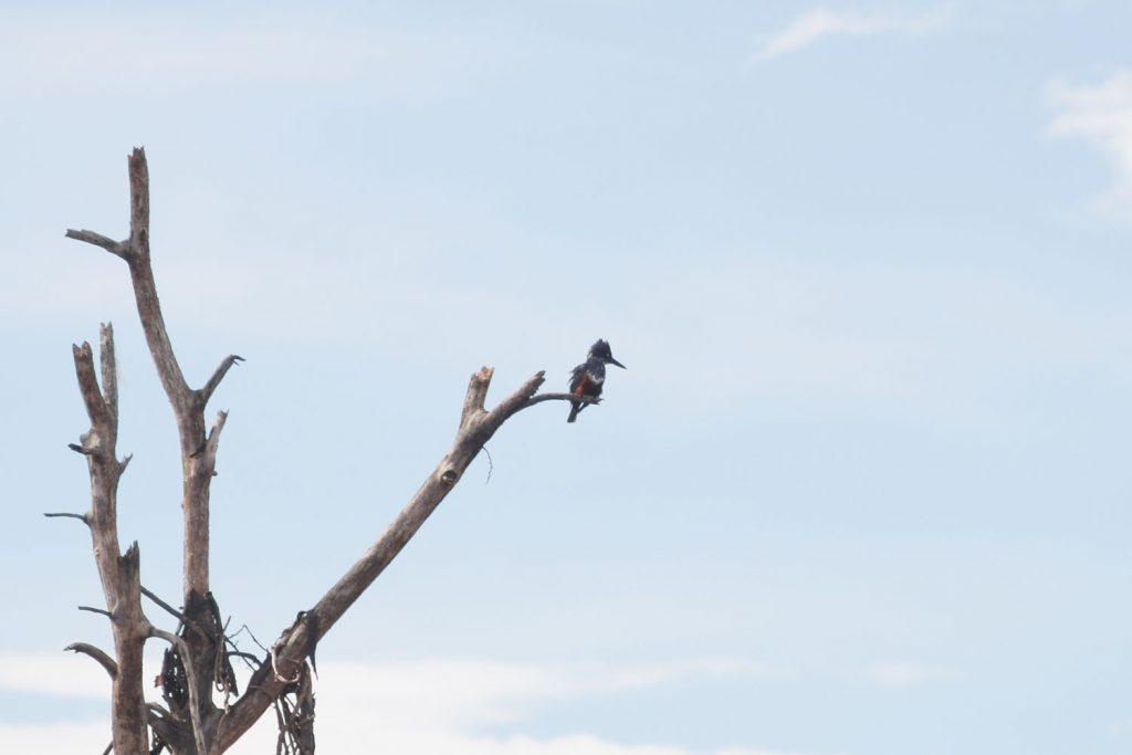 こちらはオオヤマセミ。道祖神の鳥好き社員も見たことがないというレアキャラです!