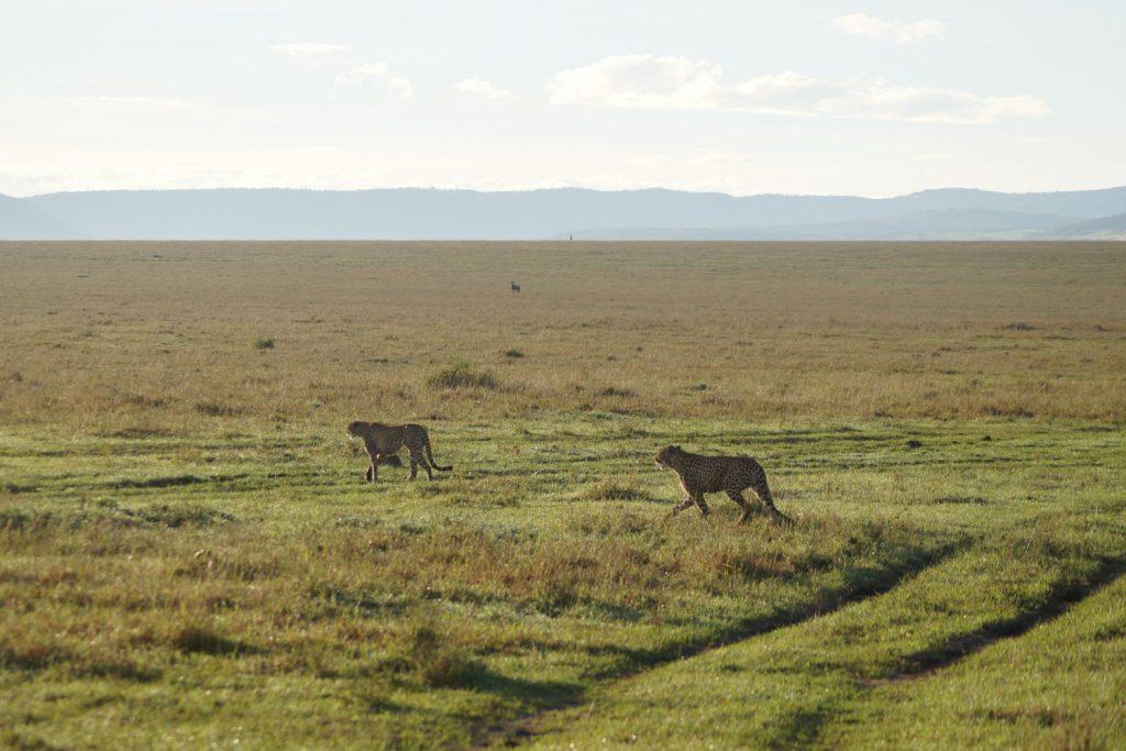 並んで歩く兄弟チーター。通常は群れを作らないチーターですが、後々聞いたところ最近は5頭の仲良し兄弟が出現したそうで、マサイ・マラでのチーター遭遇率はかなりアップしたのだとか。