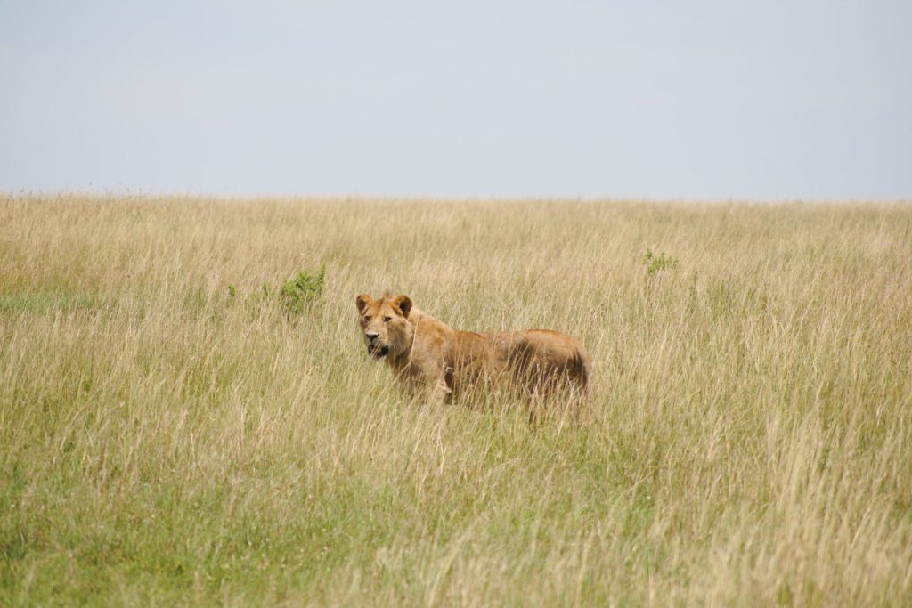 「まったくもう!」ライオンの声が聞こえてきそうなシーンに思わず笑ってしまいました。