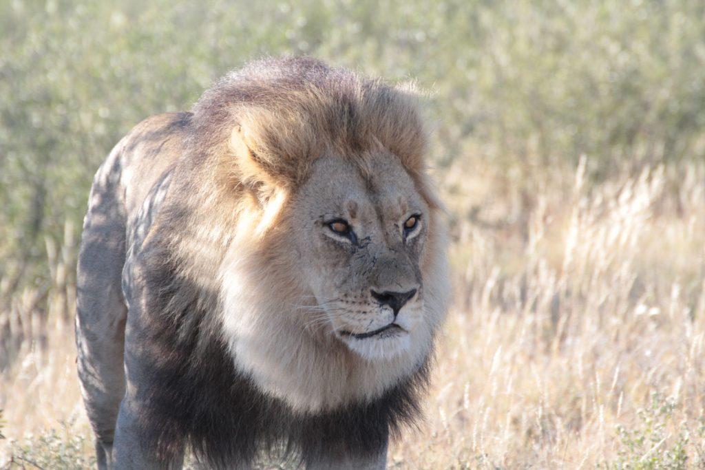 りっぱな体躯をした雄のカラハリライオン